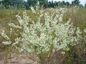 Small southern jointweed