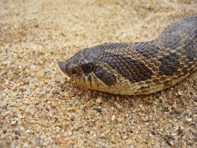 Dusty hog-nosed snake - head closeup