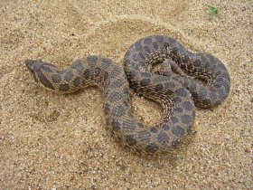 Dusty hog-nosed snake