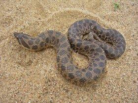 Dusty hog-nosed snake