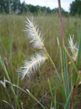 Splitbeard bluestem seed heads