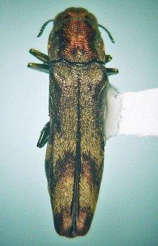 Texas, Bexar Co., San Antonio, nr. Fort Sam Houston, em. 25.iv-14.v.1997 ex Phoradendron tomentosum coll. ii.1997, D. Heffern & D. W. Sundberg