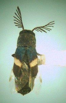 Hesperorhipis albofasciatus ♂