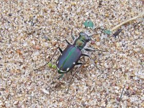 An individual from further south on the Sikeston Ridge (~20 mi S of Sand Prairie Conservation Area).  Note the generally blue-green coloration as in unicolor, but it also exhibits fairly well developed maculations and a suffusion of maroon color on the elytra - distinct influences from subspecies lecontei.