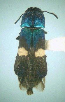 Xenorhipis osborni ♀