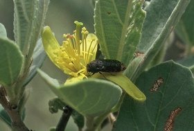 Acmaeodera (Rugacmaeodera) ruficaudis - South Africa, South Africa, Limpopo Province, vic. Waterberg Mountains, Geelhoutbos Farm, 1.xii.1999, on Grewia flava blossom