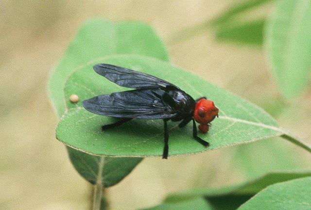 Bromophila caffra