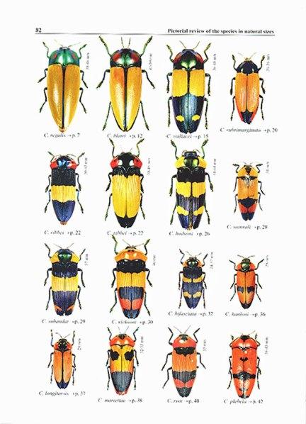 Calodema spp.