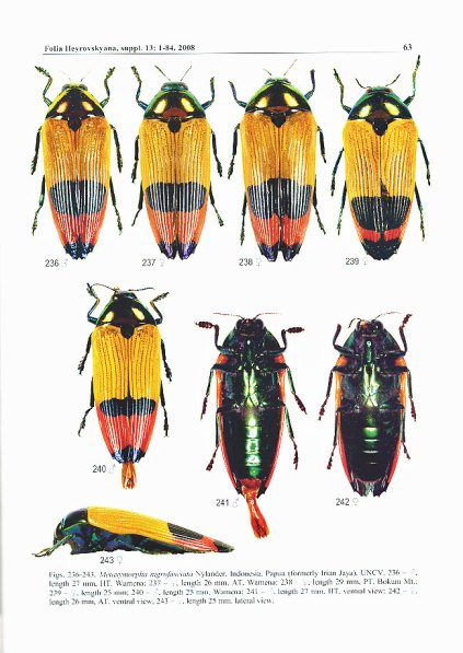 Metaxymorpha nigrofasciata