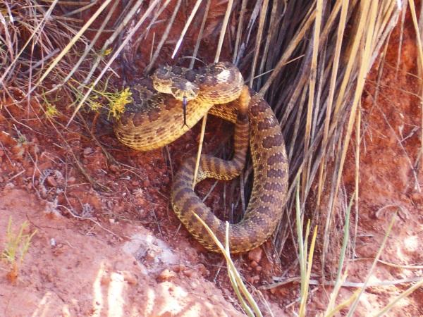 Prairie rattlesnake (Crotolus viridis)