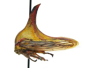 umbonia_crassicornis_female