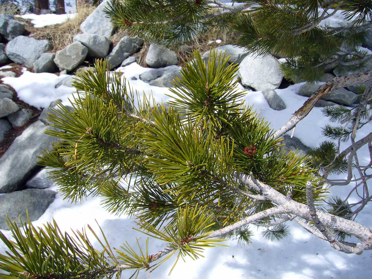 Facts About Pine Trees