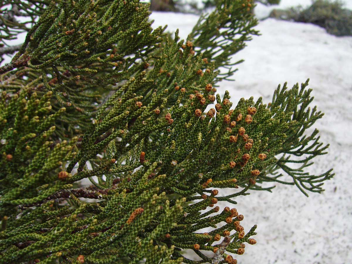 "Small Cedar Tree Varieties ~ Trees of lake tahoe the ""other conifers beetles in"