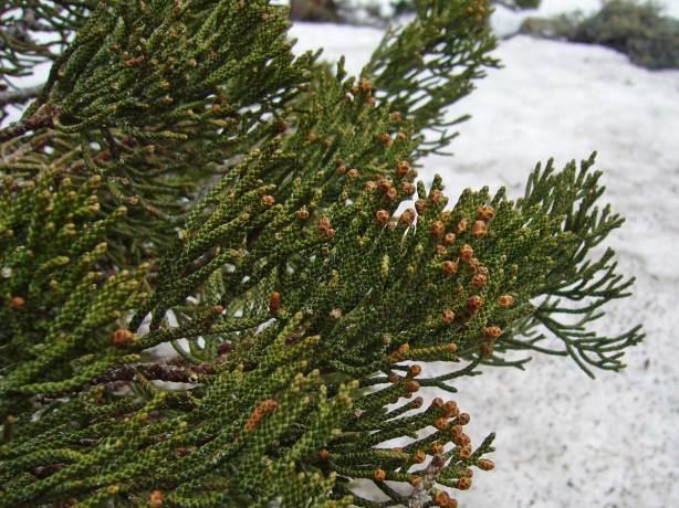 type of cedar