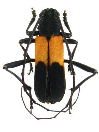 purpuricenus_axillaris