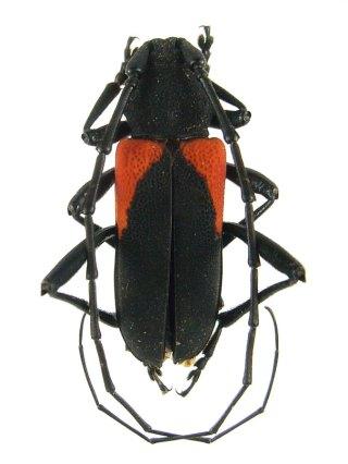 purpuricenus_humeralis
