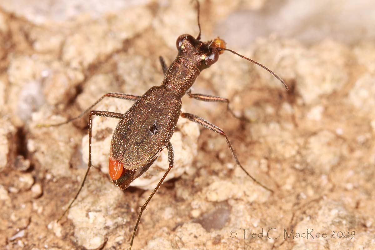 Photo 5 - Cylindera celeripes with parasite (dryinid hymenopteran?).  Note also the ant head attached to right antenna.