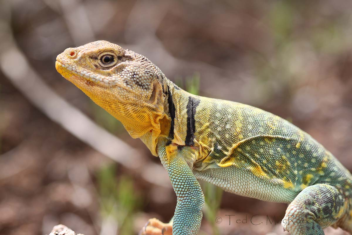 Oklahoma_State_Lizard http://beetlesinthebush.wordpress.com/2009/07/10/north-americas-most-beautiful-lizard/