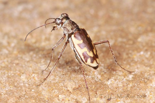 Ellipsoptera nevadica knausii - Knaus' tiger beetle