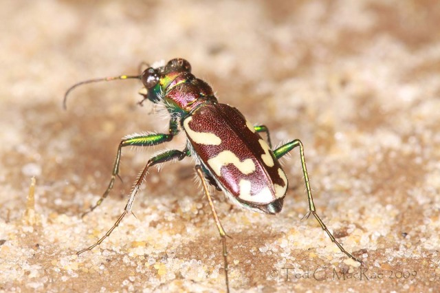 Cicindela fulgida fulgida - crimson saltflat tiger beetle