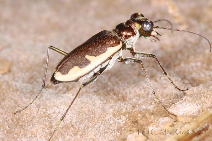 Habroscelimorpha circumpicta johnsonii - Johnson's tiger beetle