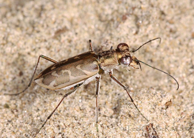 Ellipsoptera macra
