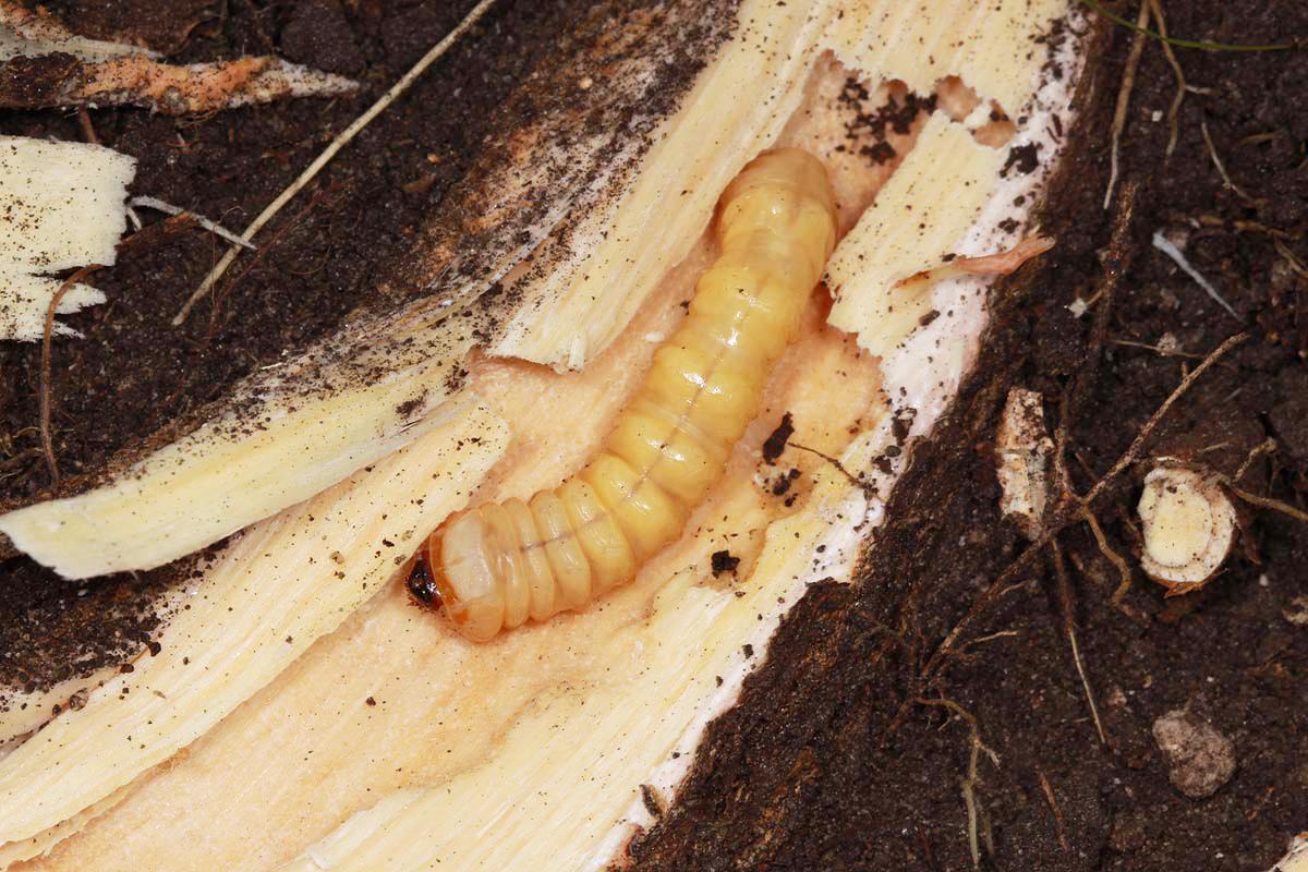 Plinthocoelium suavelones larva in root of living Sideroxylon lanuginosa