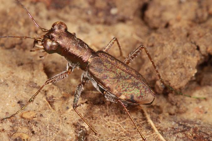 Fig. 1.  Adult female Cylindera cursitans