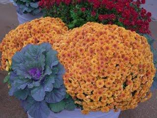 chrysanth