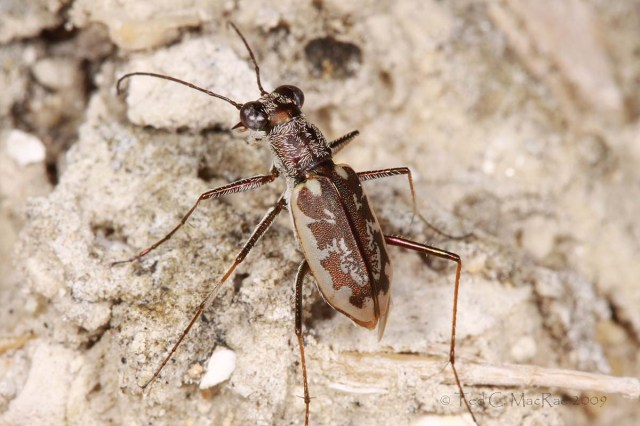 Ellipsoptera marginata - Margined Tiger Beetle