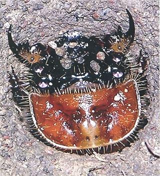 Third-instar larva of Megacephala megacephala (Olivier), photographed near a light trap on 17 July 2006 in Coli, Quebo, Guinea-Bissau, Africa, by Artur R. M. Serrano.