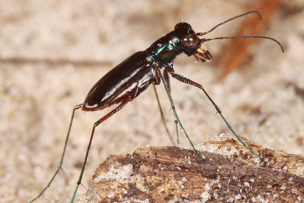 Cicindelidia abdominalis