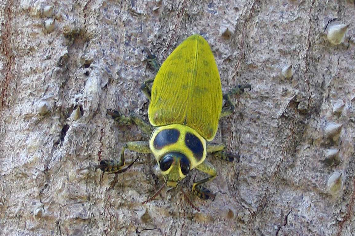 north america u2019s largest jewel beetle