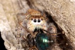 My first jumping spider