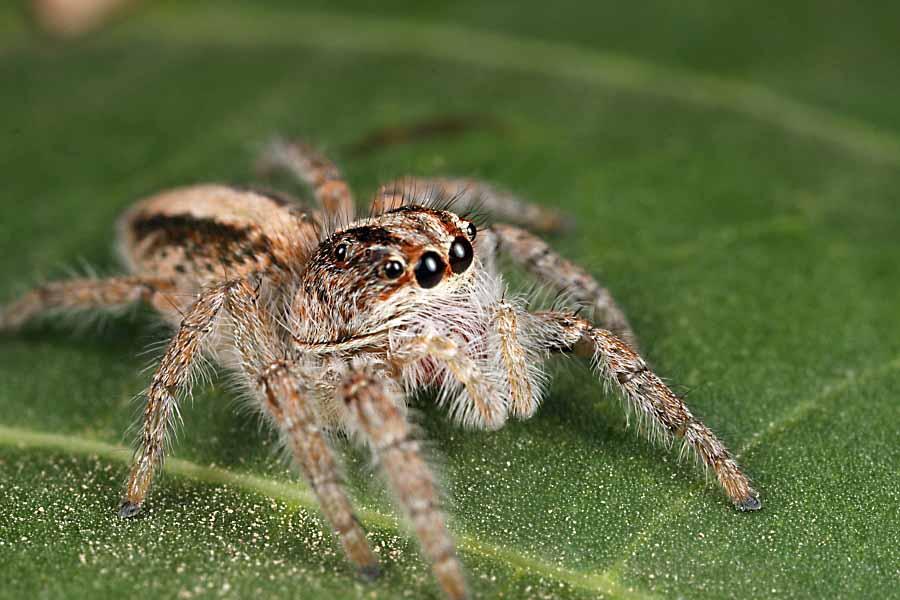 N Spiders Bichos Argentinos #6 �...
