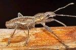 Naupactus xanthographus