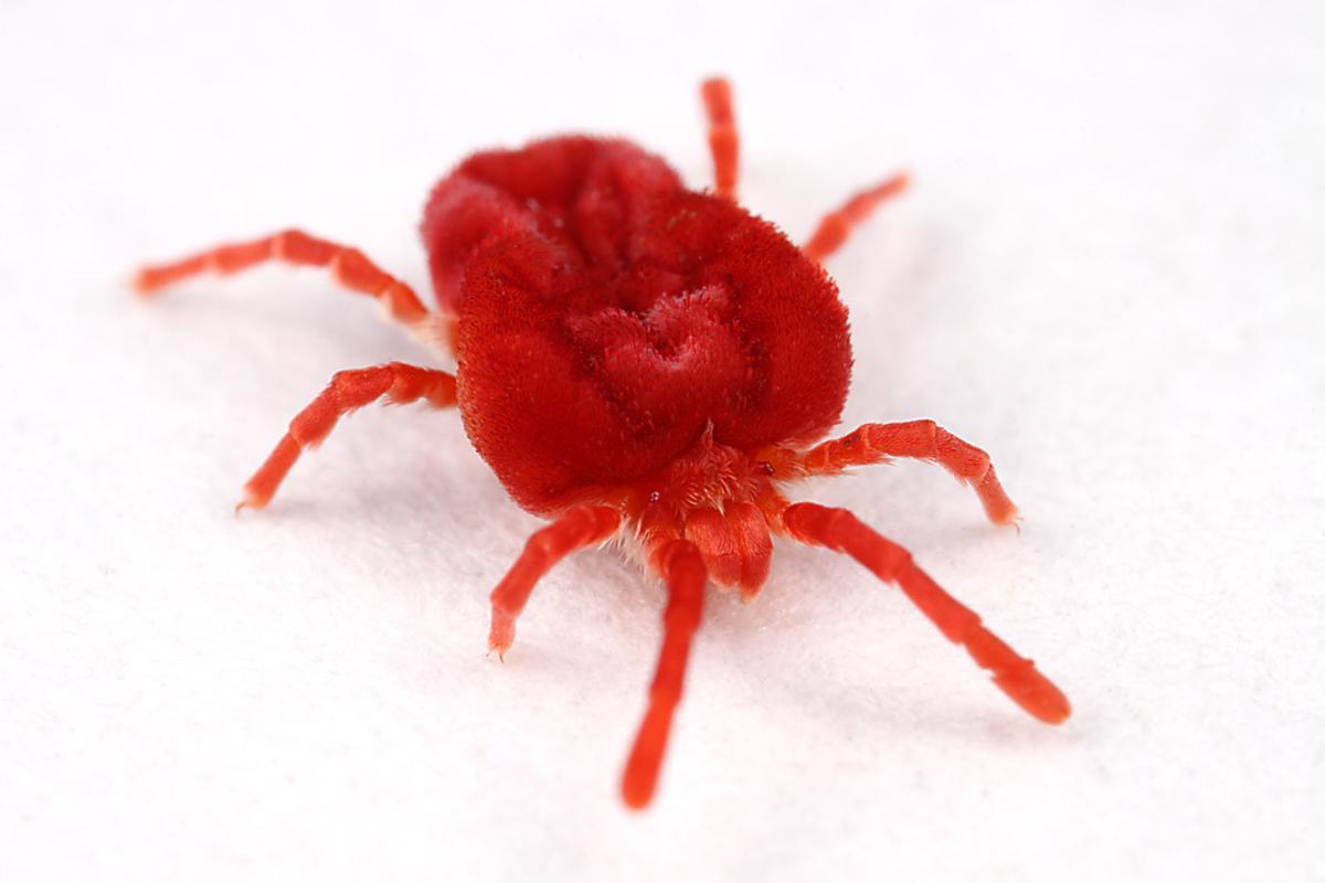 Red Velvet Cake Red Beetles