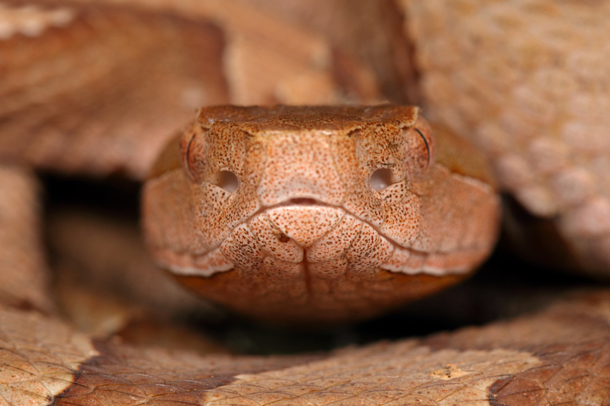 Eye to eye with a copperhead | Beetles In The Bush