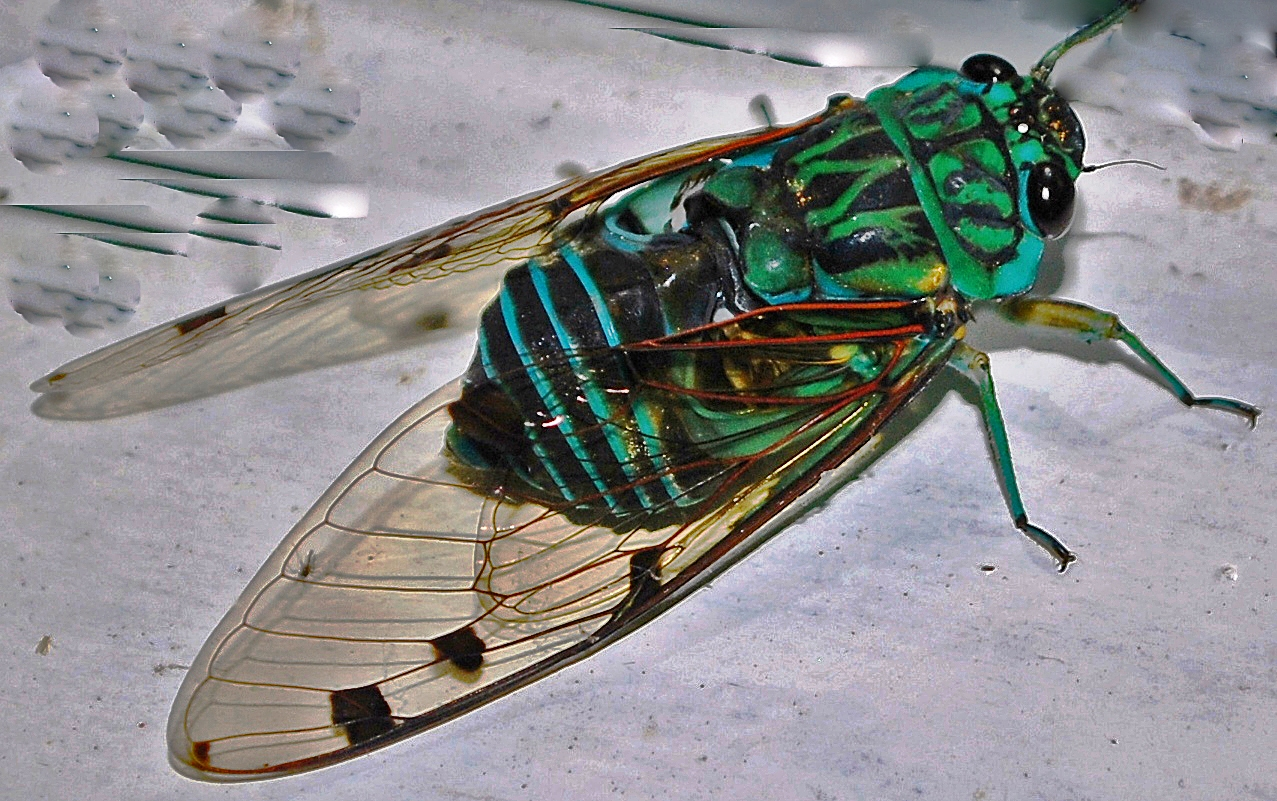 Vinerunt, futuerunt, ierunt   Beetles In The Bush   1277 x 801 jpeg 769kB