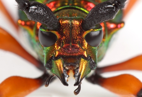 Brumelia borer, from Beetles in the Bush.  Photo by Ted C. MacRae