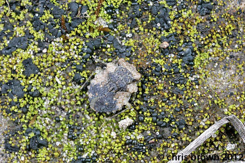 Figure 3. Gelastocoris oculatus, 3.13.2012, Perry Co., MO
