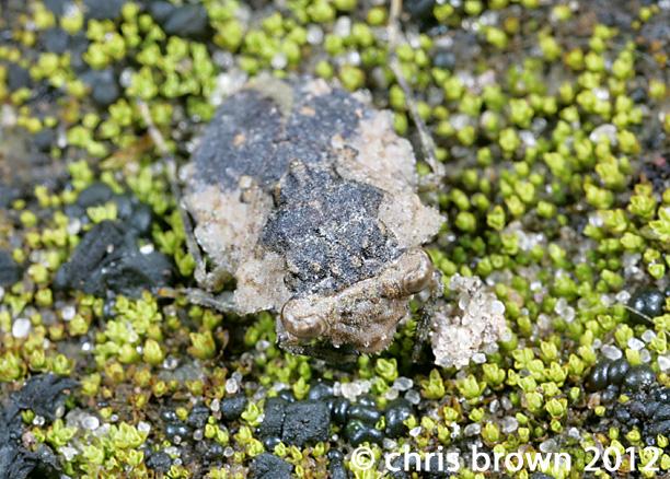 Fgure 2. Gelastocoris oculatus, 3.13.2012, Perry Co., MO