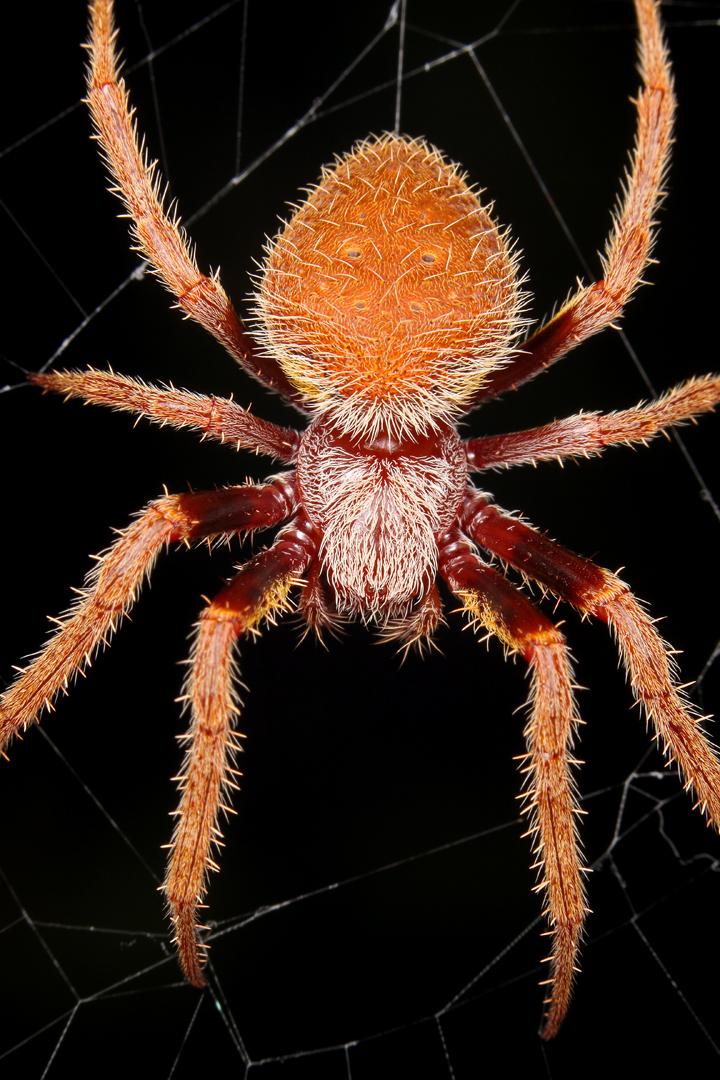 Garden Orb Weaving Spider Florida | Fasci Garden