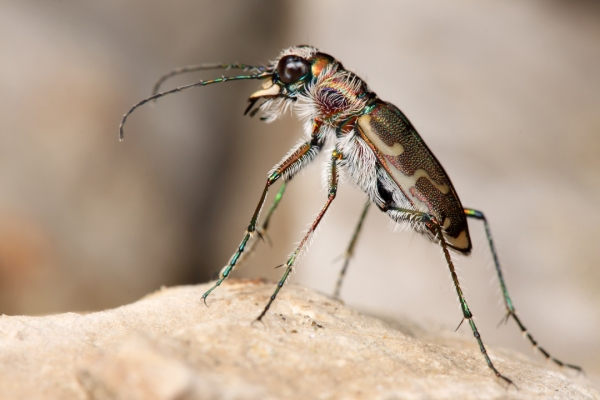 Cicindela repanda (Bronze Tiger Beetle) | St. Louis Co., Missouri