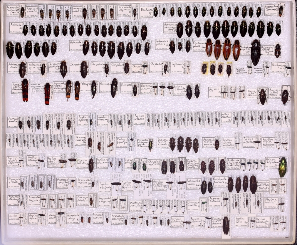 236 specimens representing 88 species of Buprestidae