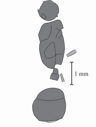 Myrmecites rotundiceps, holotype (Gennady & Rasnitsyn 2002)