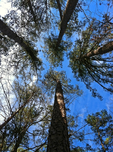 Shortleaf pine (Pinus echinata) | Wayne Co., Missouri