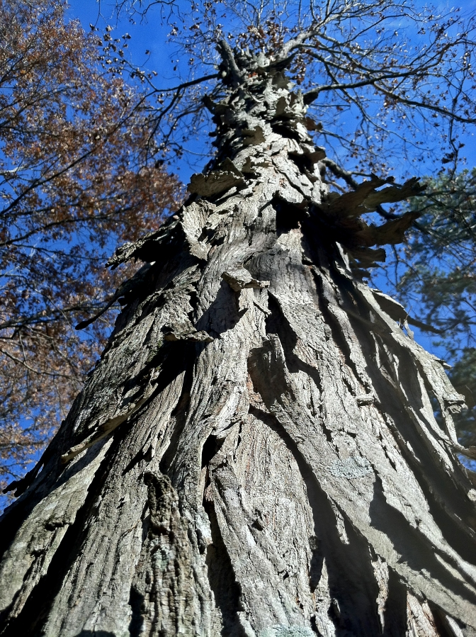 Shagbark hickory (Carya ovata)   Wayne Co., Missouri