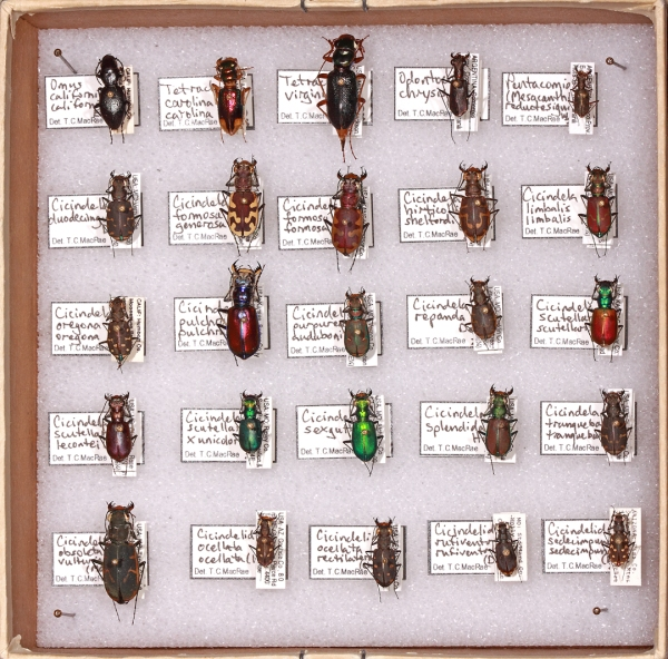 Synoptic collection of tiger beetles