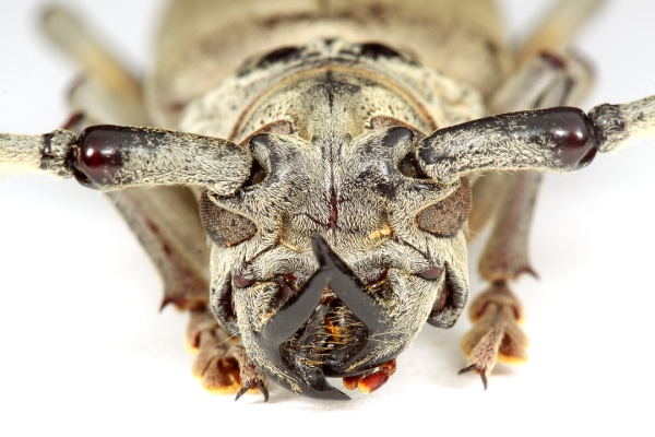 Males sport remarkable horn-like processes arising from the base of the mandibles